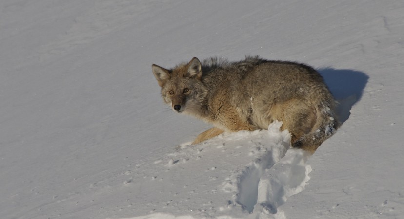 This coyote was eating a wolverine, scary beautiful.