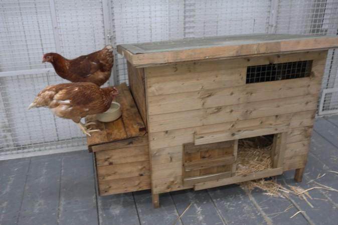 Live chickens